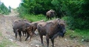 Herd of European bison  in Bison Hillock, ?arcu Mountains. Photo credit: Iulia Trandafir, Romania Journal