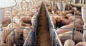 pigs-porci