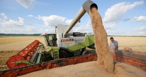 Romanian wheat