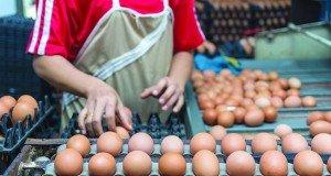 egg exporters