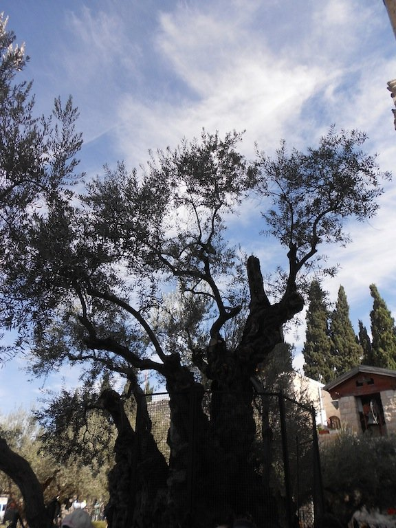 One of the oldest olive trees here. Photo: The Romania Journal